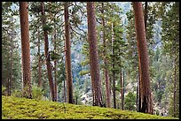 Pine trees, Lewis Creek. Kings Canyon National Park ( color)
