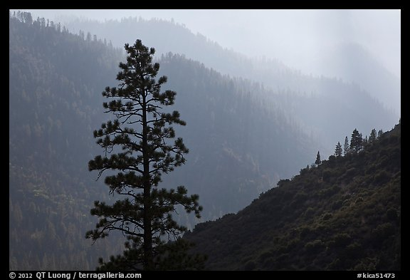 Silhouetted tree and canyon ridges. Kings Canyon National Park (color)