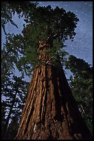 Moonlit sequoia and star trails. Kings Canyon National Park, California, USA.