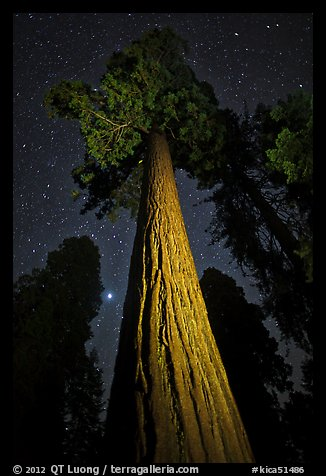 Sequoia tree, planet, stars. Kings Canyon National Park (color)