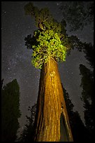 General Grant tree under starry skies. Kings Canyon National Park ( color)