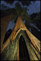 Sequoia tree with opening at base at night, Redwood Canyon. Kings Canyon National Park ( color)