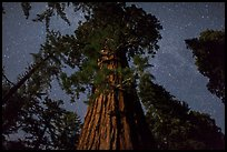 Giant Sequoia moonlit at night. Kings Canyon National Park ( color)