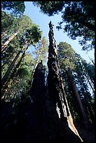 Burned tall tree. Sequoia National Park, California, USA.