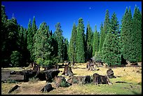 Big sequoia tree stumps, Giant Sequoia National Monument near Kings Canyon National Park. California, USA (color)