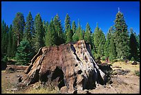 Big sequoia stump,  Giant Sequoia National Monument near Kings Canyon National Park. California, USA (color)