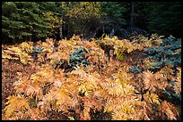 Ferns in autumn, Big Stump Basin. Kings Canyon National Park ( color)