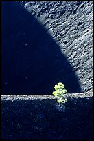 Shadows and pine on top of Cinder cone, early morning. Lassen Volcanic National Park, California, USA. (color)