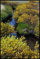 Shrubs in fall foliage along stream. Lassen Volcanic National Park ( color)