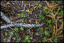 Ground close-up of forest floor. Lassen Volcanic National Park ( color)