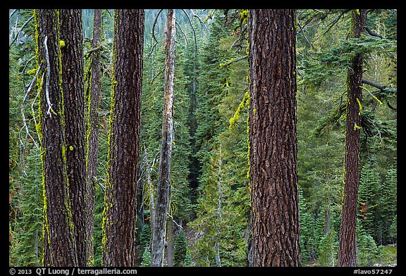 Trunks and conifer forest. Lassen Volcanic National Park (color)