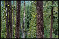 Trunks and conifer forest. Lassen Volcanic National Park ( color)