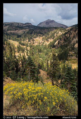 Rabbitbrush in bloom, forested valley, and Lassen Peak. Lassen Volcanic National Park (color)