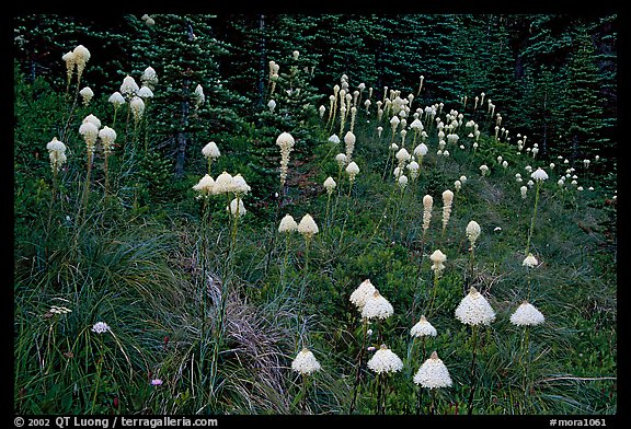 Conical beargrass flowers in forest meadow. Mount Rainier National Park (color)