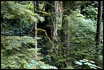 Foliage, Carbon rainforest. Mount Rainier National Park, Washington, USA. (color)