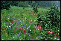 Wildflowers and trees at Paradise. Mount Rainier National Park, Washington, USA.