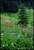 Wildflowers and trees at Paradise. Mount Rainier National Park ( color)