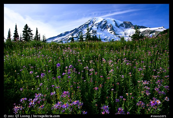 Dense carpet of wildflowers and Mt Rainier from Paradise, late afternoon. Mount Rainier National Park, Washington, USA.