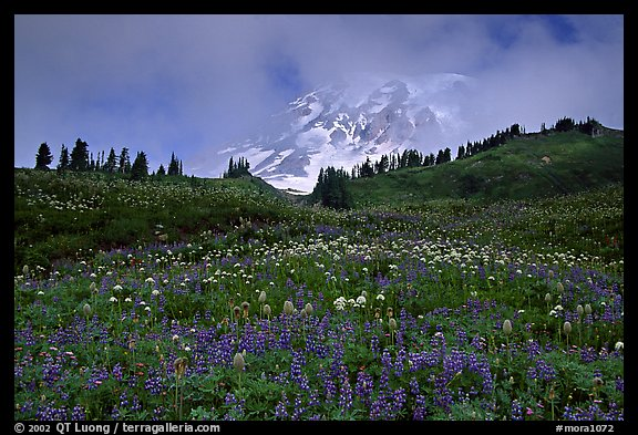 Lupine and Mt Rainier in fog from Paradise. Mount Rainier National Park, Washington, USA.