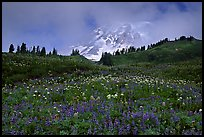Lupine and Mt Rainier in fog from Paradise. Mount Rainier National Park, Washington, USA. (color)