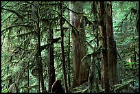 Carbon rainforest. Mount Rainier National Park, Washington, USA. (color)