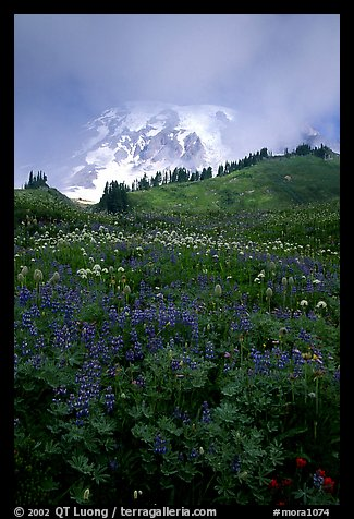 Lupine and Mt Rainier shrouded in fog from Paradise. Mount Rainier National Park, Washington, USA.