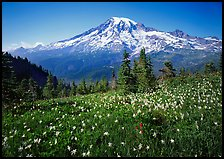 Avalanche lillies and Mt Rainier seen from  Tatoosh range, afternoon. Mount Rainier National Park, Washington, USA.