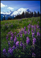 Lupines and Mt Rainier from Sunrise, morning. Mount Rainier National Park, Washington, USA.