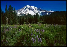 Lupine, conifers, and Mt Rainier, Paradise. Mount Rainier National Park, Washington, USA.