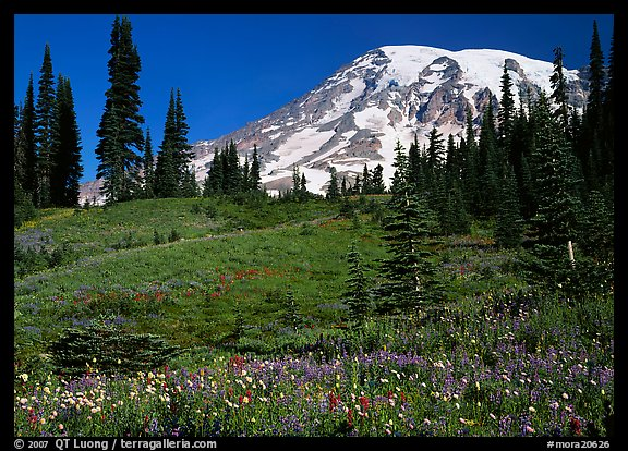 Meadow, wildflowers, trees, and Mt Rainier, Paradise. Mount Rainier National Park (color)