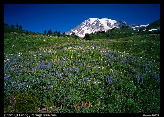 Lupine in meadow and Mt Rainier, Paradise. Mount Rainier National Park (color)