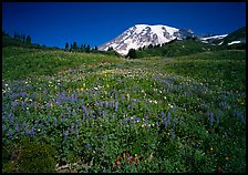 Lupine in meadow and Mt Rainier, Paradise. Mount Rainier National Park, Washington, USA.