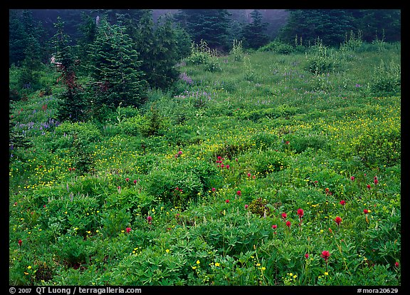 Meadow with wildflowers and fog, Paradise. Mount Rainier National Park (color)