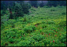 Meadow with wildflowers and fog, Paradise. Mount Rainier National Park, Washington, USA.