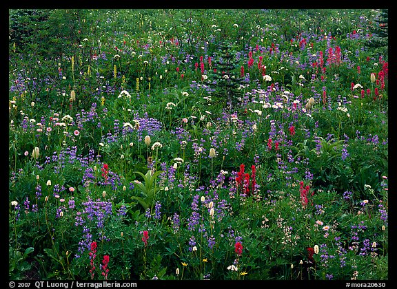 Meadow detail with multicolored wildflower carpet, Paradise. Mount Rainier National Park (color)