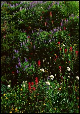 Close-up of meadow with wildflowers, Paradise. Mount Rainier National Park, Washington, USA.