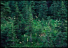 Beargrass and conifer forest. Mount Rainier National Park, Washington, USA.