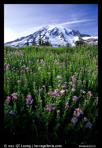 Dense field of wildflowers and Mt Rainier from Paradise, late afternoon. Mount Rainier National Park, Washington, USA.