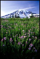 Dense field of wildflowers and Mt Rainier from Paradise, late afternoon. Mount Rainier National Park, Washington, USA. (color)