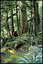 Ferns, mosses, and trees, Carbon rainforest. Mount Rainier National Park, Washington, USA.