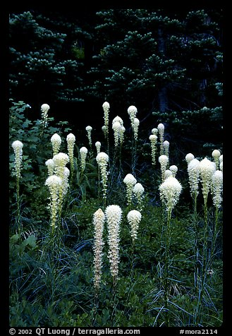 Beargrass. Mount Rainier National Park (color)