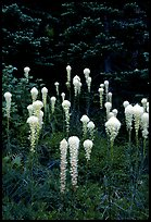 Beargrass. Mount Rainier National Park, Washington, USA. (color)
