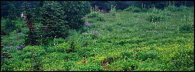 Meadow, wildflowers, and conifers. Mount Rainier National Park (Panoramic color)