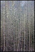 Bare forest, Westside. Mount Rainier National Park ( color)