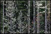 Trees with lichens hanging from branches. Mount Rainier National Park ( color)