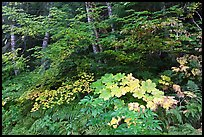 Big leaf maple on forest floor. Mount Rainier National Park ( color)