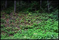 Ferns on forested slope, Westside. Mount Rainier National Park, Washington, USA. (color)