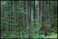 Forest. Mount Rainier National Park, Washington, USA. (color)