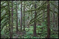 Trees with moss-covered branches. Mount Rainier National Park ( color)