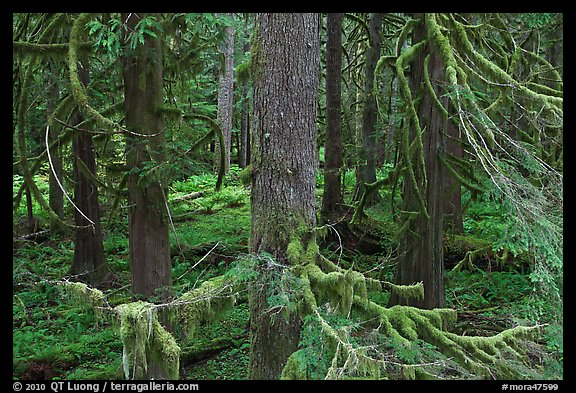 Westside rainforest. Mount Rainier National Park, Washington, USA.